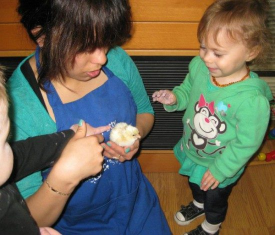 edgewater preschool - long beach chics hatching (4)